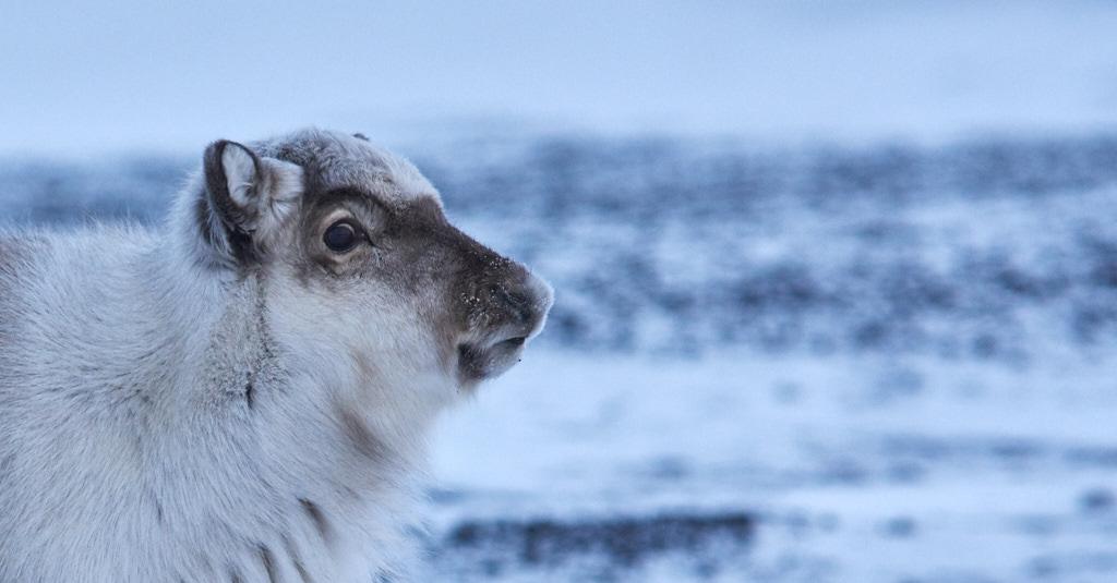 Svalbardreinportrett